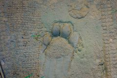 Beautiful tiger paw print on the vlay soil inside of the forest in Chitwan National Park, Nepal.  royalty free stock photography