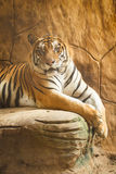Beautiful tiger Stock Photography