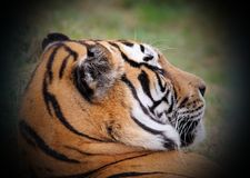 Beautiful tiger portrait Royalty Free Stock Images