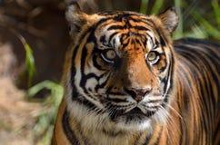 Beautiful tiger Stock Image