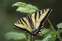 Beautiful Tiger Swallowtail Butterfly. Papilio rutulus, the western tiger swallowtail, is a common swallowtail butterfly of western North America, frequently stock photos
