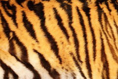 Beautiful tiger textured fur. Stripes on animal Stock Image