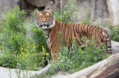 Beautiful tiger Royalty Free Stock Images