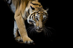 Beautiful tiger walking step by step isolated on black backgroun Stock Image