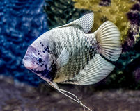 Beautiful tilapia fish Stock Image