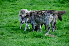 Beautiful Timber Wolf Cnis Lupus stalking and eating in forest c. Beautiful grey Timber Wolf Cnis Lupus stalking and eating in forest clearing landscape setting Royalty Free Stock Photos