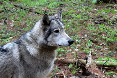 Beautiful timber wolf in natural habitat Stock Photo