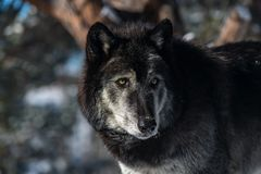 A Timber Wolf`s Gaze. A Beautiful Timber Wolf with Piercing Green Eyes Gazes in the Distance royalty free stock image