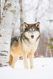 Beautiful timber wolf in snow stock photo