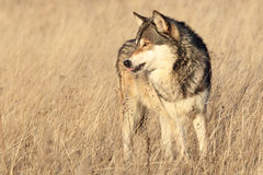 Beautiful timber wolf in yellow grass Stock Photography