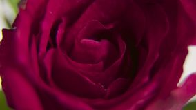 Beautiful Timelapse of opening red rose, top view stock video footage