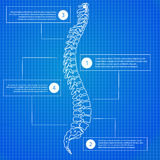 Beautiful timeline infographic medic spine human on the blueprint background. Clean and elegant style.  Stock Photo