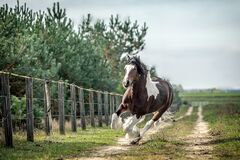 Beautiful tinker horse with long mane walking free in the meadow