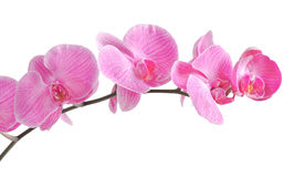 Beautiful tint purple orchid on white background Royalty Free Stock Photo