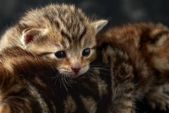 Beautiful tiny baby kittens with bengal fur royalty free stock images