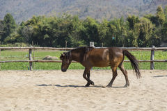 Beautiful tiny brown horse in farm relaxing in sand Stable Stock Images