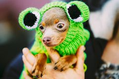 Beautiful Tiny Chihuahua Dog Dressed Up In Frog Royalty Free Stock Photos