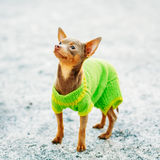 Beautiful Tiny Chihuahua Dog Dressed Up In Outfit Stock Photography