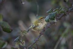Beautiful tiny female Goldcrest Regukus Regulus bird perched in Stock Photos