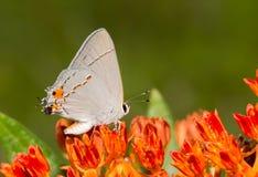 Beautiful, tiny Gray Hairstreak butterfly Royalty Free Stock Photography