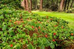 Free Beautiful Tiny Red Flowers Of Cornus Kousa Chinensis On Redwood Avenue Alley In Benmore Botanic Garden, Scotland Royalty Free Stock Image - 129765856
