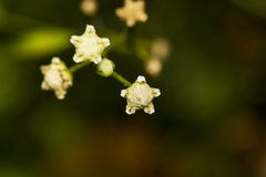 Beautiful tiny shar shaped flower abstract background bokeh. Beautiful closeup of a tiny star shaped unknown flower in a garden of Masinagudi, South India Stock Photo