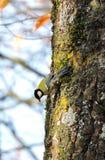 Nice tit bird on tree trunk, Lithuania Stock Image