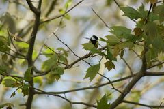A beautiful tit which rests on a branch - France. A beautiful tit which rests on a branch Royalty Free Stock Photos