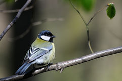 Beautiful titmouse royalty free stock images
