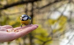 The beautiful titmouse eats a forage from hands of the person royalty free stock image