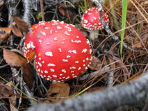 Beautiful toadstools in the forest Stock Photo