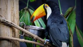 Beautiful Toco Toucan Eating. Toco Toucan (Ramphastos Toco) Eating Food stock footage