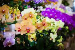 Beautiful Tolumnia Culture orchid in ThailandClose up of beautiful orchid.Oncidium Orchid Flowers. Stock Photography
