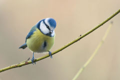 Beautiful tomtit Royalty Free Stock Image