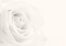 Beautiful toned white rose close-up as wedding background. Soft Royalty Free Stock Image
