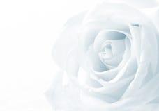 Beautiful toned white rose close up as wedding background. Soft Stock Photos