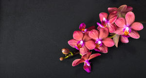 Beautiful top down spa concept of twig red orchid flower, phalae Royalty Free Stock Images