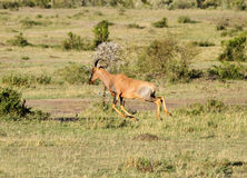 A beautiful Topi antelope in the Mara grassland Royalty Free Stock Photos