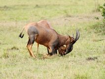 Beautiful Topi antelopes fighting with each other Royalty Free Stock Photos