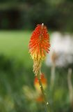 A beautiful Torch Lily Stock Image
