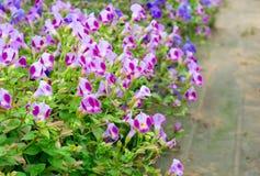 Torenia flower. Beautiful torenia flower  blooming in garden Royalty Free Stock Image