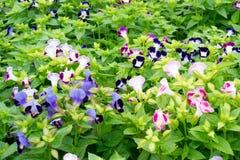 Flower  blooming. Beautiful  torenia flower  blooming in garden Stock Photos