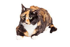 Beautiful Tortie Cat Laying Over White Royalty Free Stock Photography