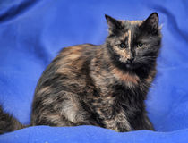 Beautiful tortie cat Royalty Free Stock Photo