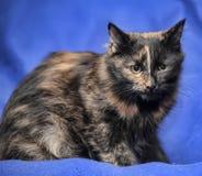 Beautiful tortie cat Stock Photography