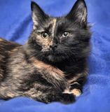 Beautiful tortie cat Royalty Free Stock Images