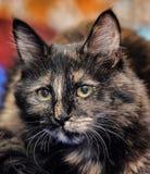 Beautiful tortie cat Stock Image