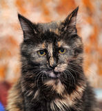 Beautiful tortie cat Royalty Free Stock Photography