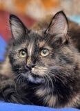 Beautiful tortie cat Royalty Free Stock Image