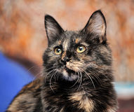 Beautiful tortie cat Stock Photos